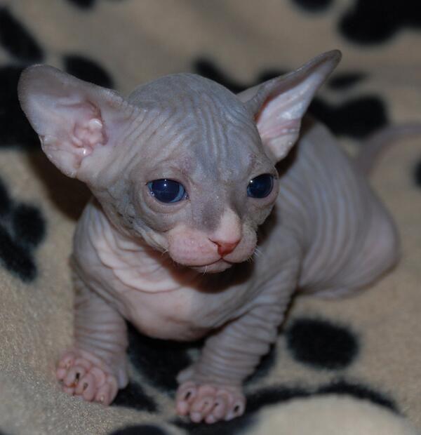 Gatos Y Bebes Andrea 99 100 Twitter Hairless Kitten Kitten