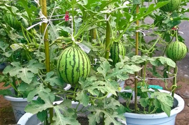 Growing Watermelon Vertically In Pots How To Grow Watermelon In Containers How To Grow Watermelon Watermelon Plant Growing Plants