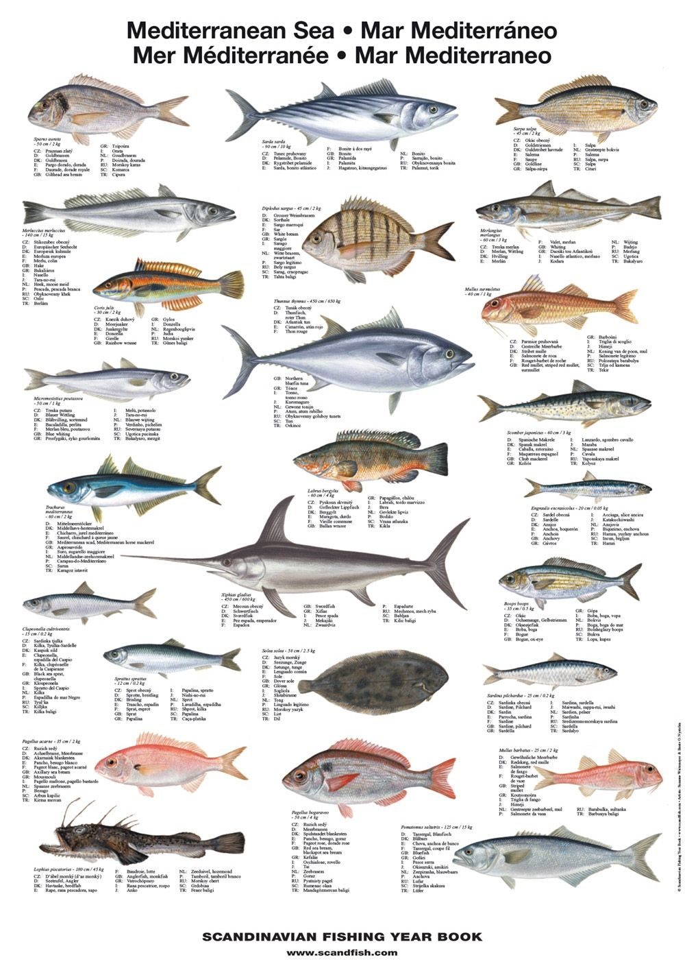 Mediterranean sea fish poster illustrates 25 of the most for Ocean fish species
