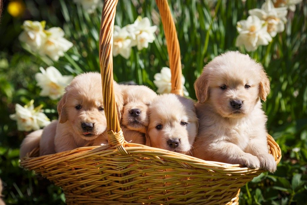 Basket Of Gold Dogs Golden Retriever Golden Dog Dogs Puppies