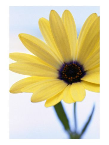 Yellow Gerber Daisy   Flowers, Pretty flowers and Beautiful flowers