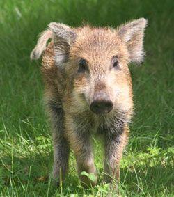 Vildsvinet I Kagerup Foto Pipper Carlsen A Animals Info
