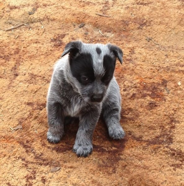 Smithfield Dog Photo Smithfield Pups Blue Cattle Dogs Dogs Puppies Gumtree Australia Smithfield Dog Cattle Dog Dog Photos