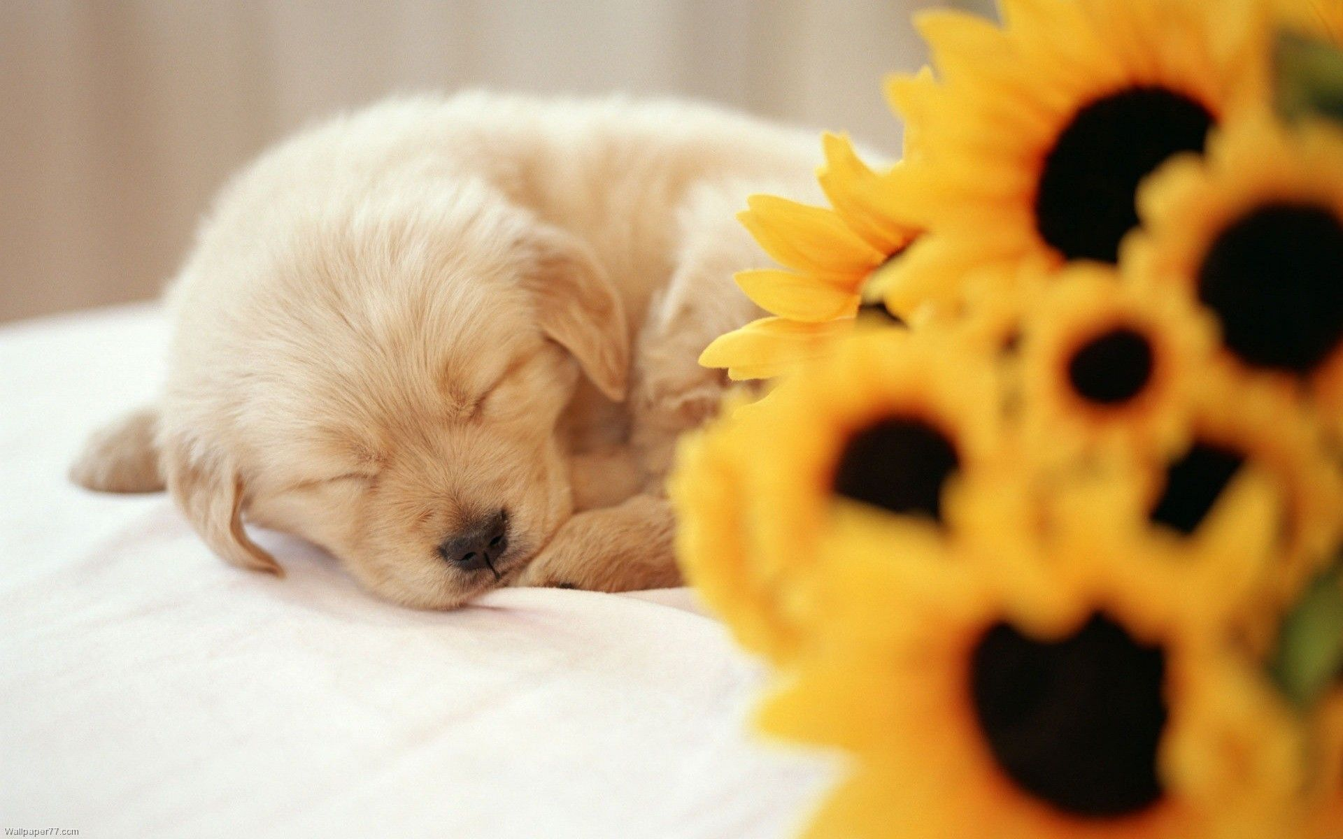Pin by laura rowe on sunflowers pinterest puppies cute puppies
