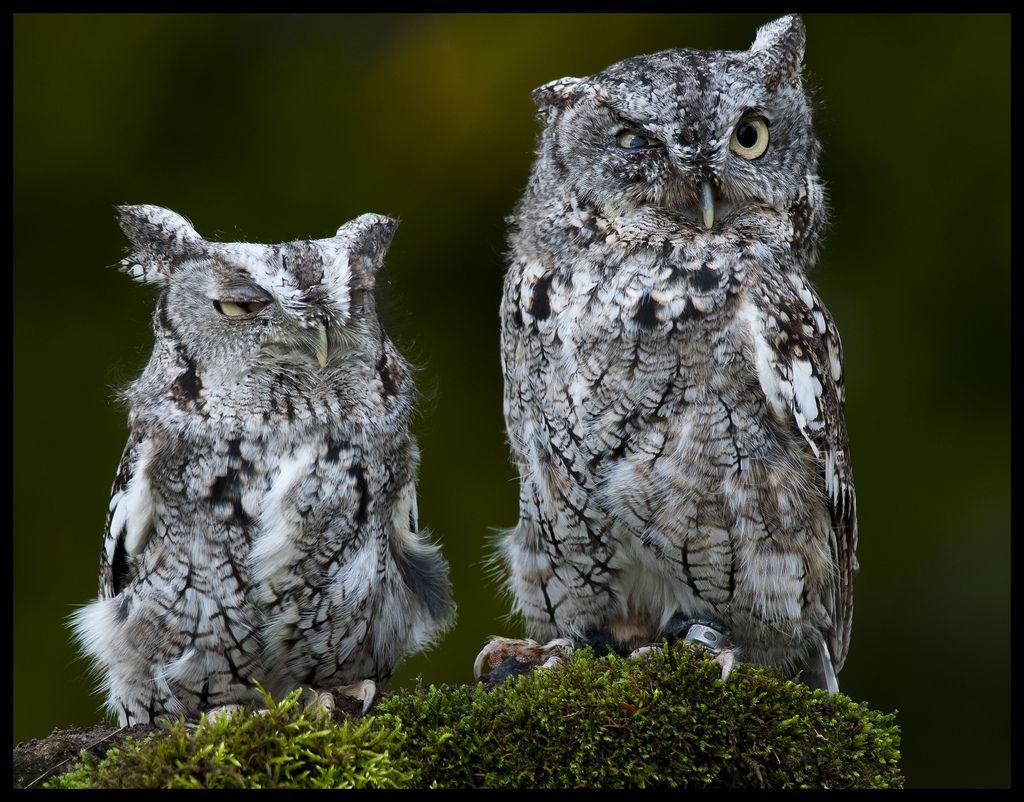 Eastern screech owls 4 | by Jen St. Louis