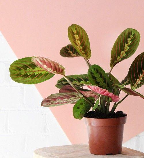Nursery Indoor Plants Near Me: Plants, House Plants, Prayer Plant