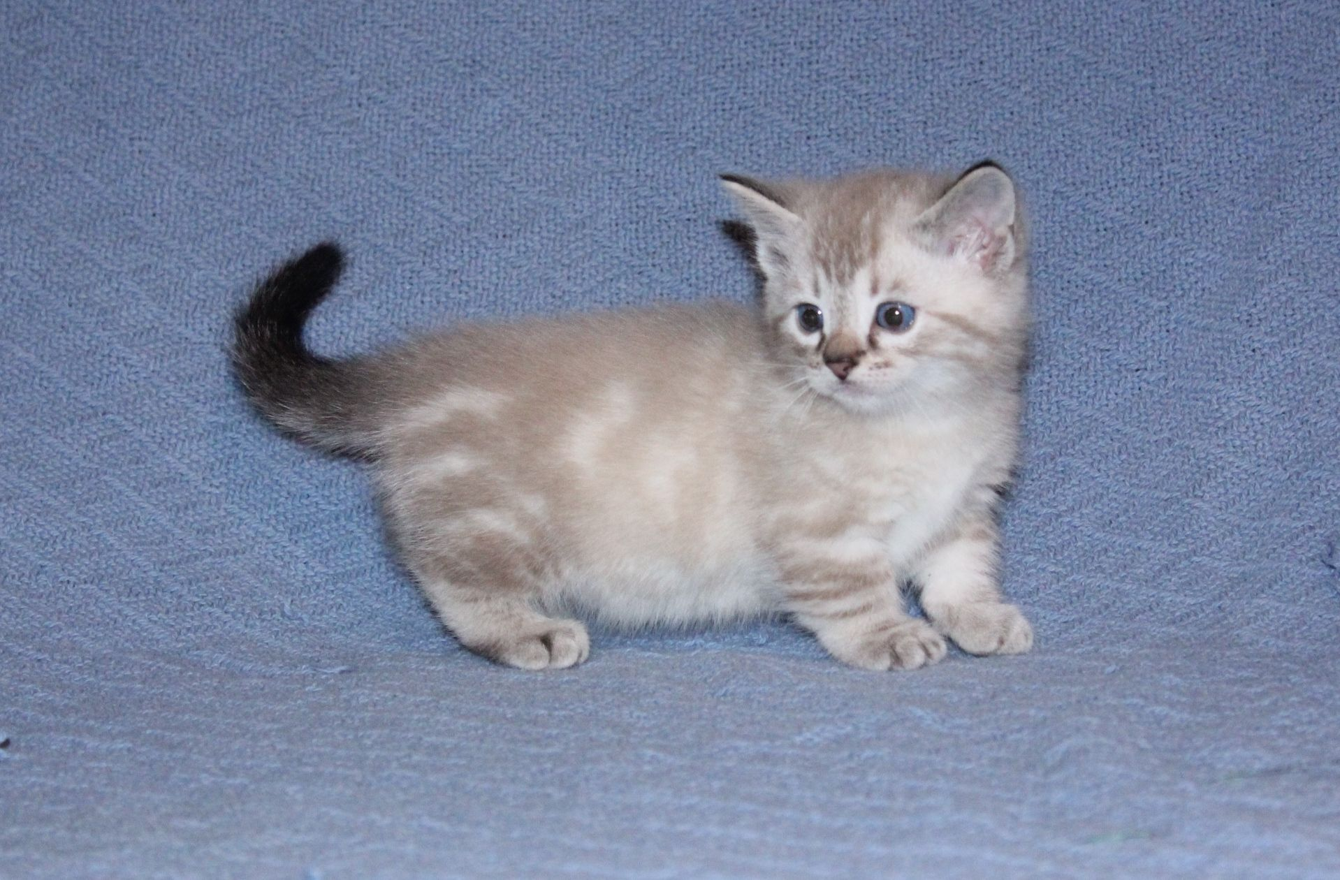 One Of My First Litter Of Bengal Munchkin Cats Munchkin Cat