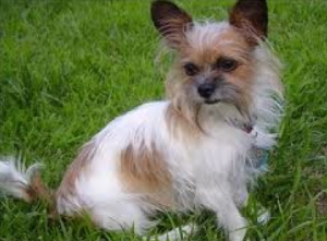 Learn About The Shih Tzu Chihuahua Mix Dogable Chihuahua Breeds Chihuahua Mix Shih Tzu