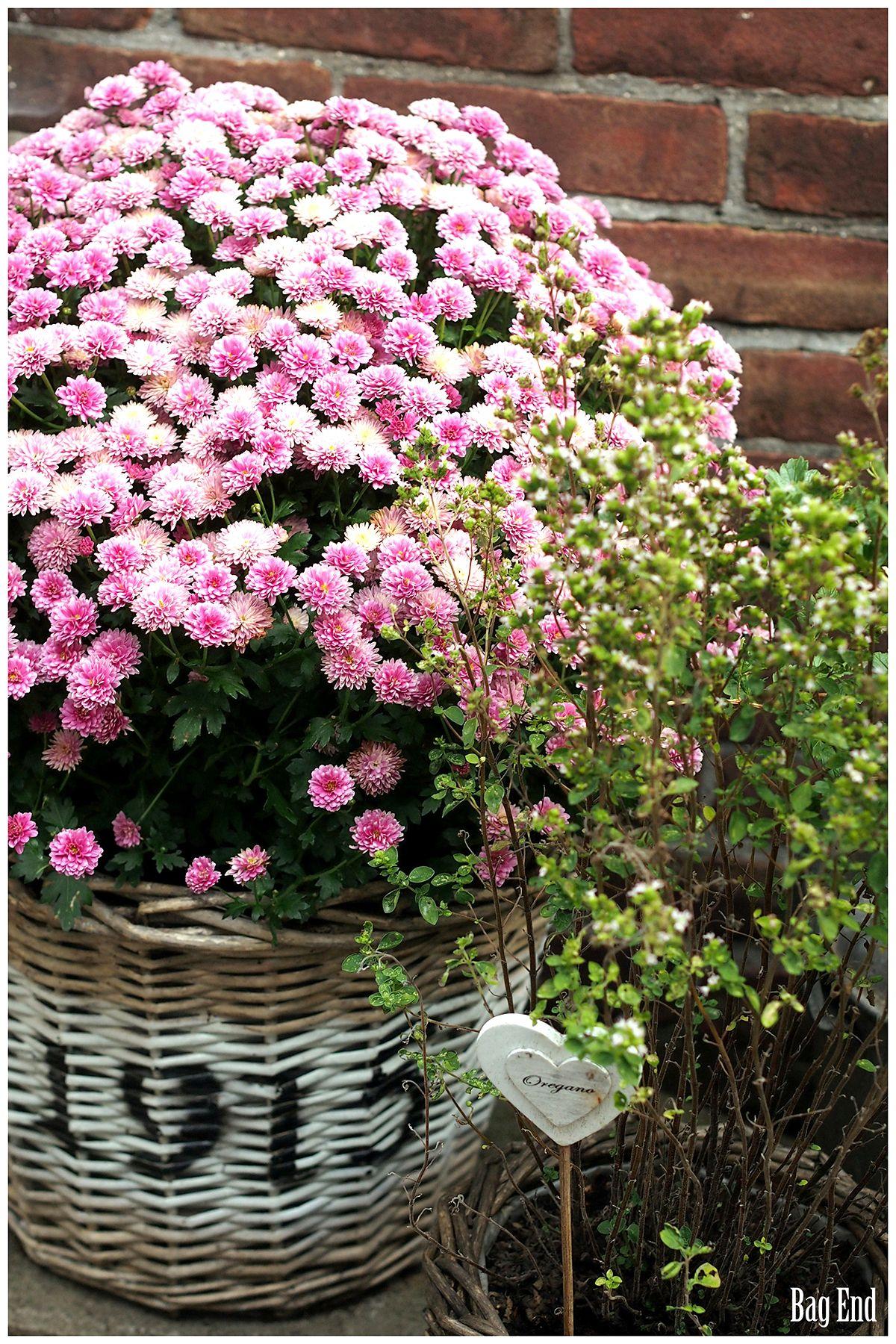 Pink chrysanthemum pinkki krysanteemi container gardening