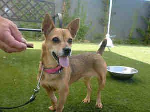 A1391760 is in Danger at South LA is an adoptable Chihuahua Dog in Beverly Hills, CA. ID# A1391760 My name is Jersey and I am an unaltered female, brown Chihuahua - Smooth Coated. The shelter thinks I...