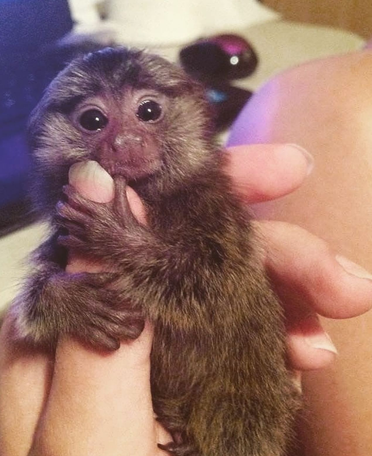 Marmosets Are The Smallest Species Of Monkey They Usually Grow To
