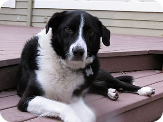 Redding In Shasta County Ca Border Collie Mix Meet Bo A Dog For Adoption Http Www Adoptapet Com Pet 12142922 Corn Dog Adoption Border Collie Mix Collie