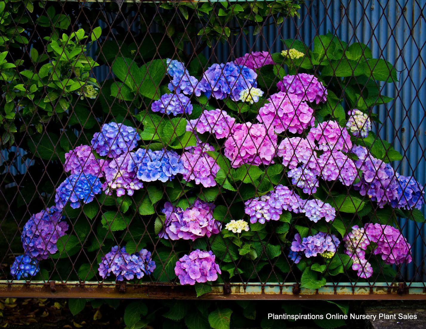 Which plants flower in shade the best hydrangea for Best garden plants