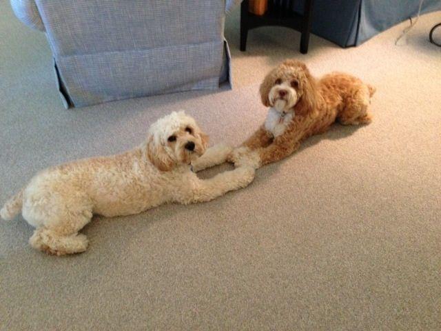 Puppy Love in Virginia! Puppies, Cockapoo puppies