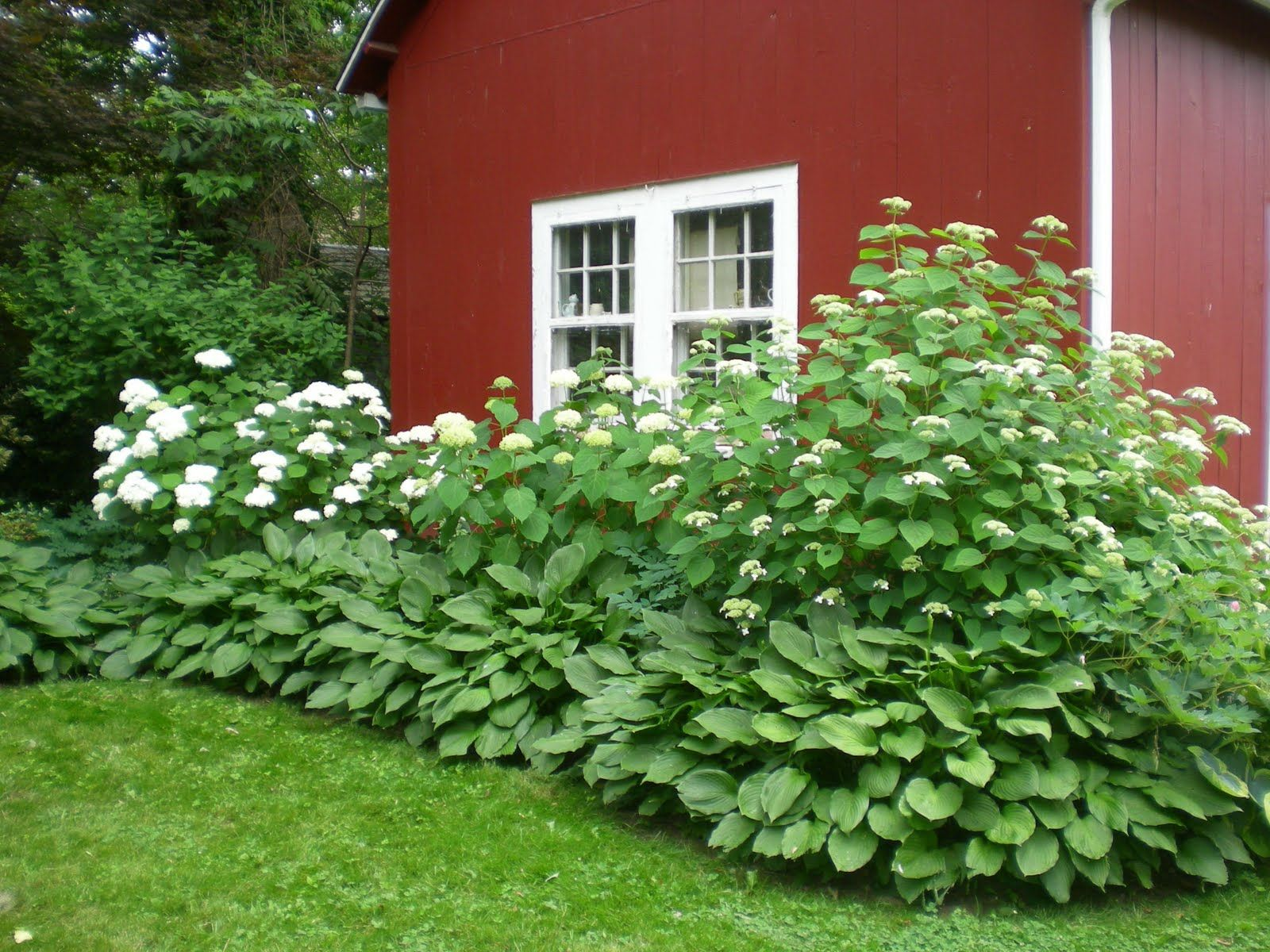 hydrangea and hosta house foundation