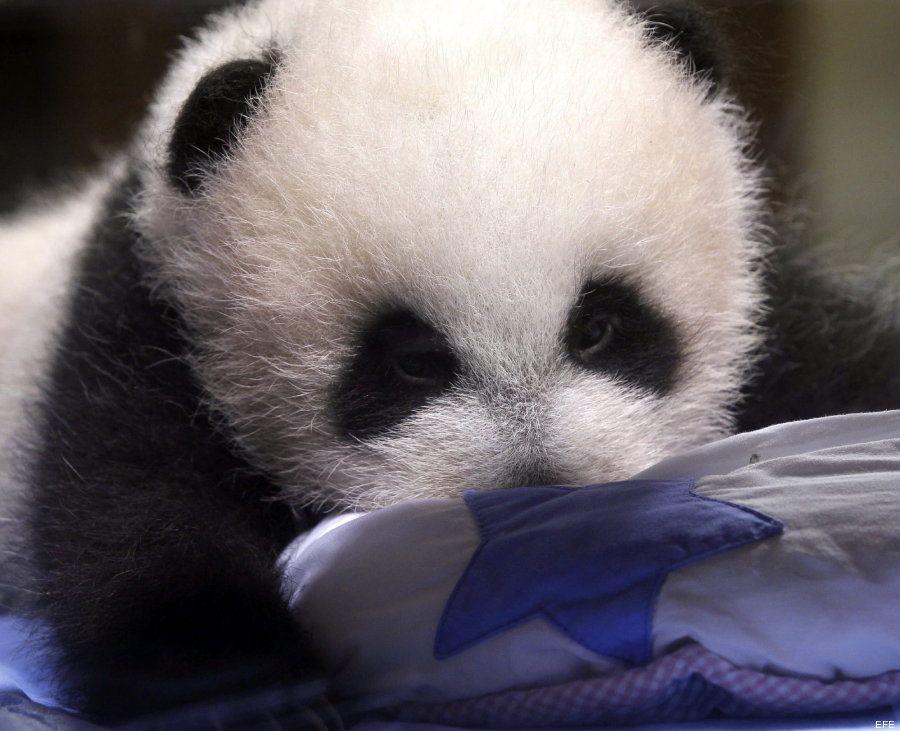 oso panda madrid  - Huffington post ES #panda #pandas #madris #pandasmadrid