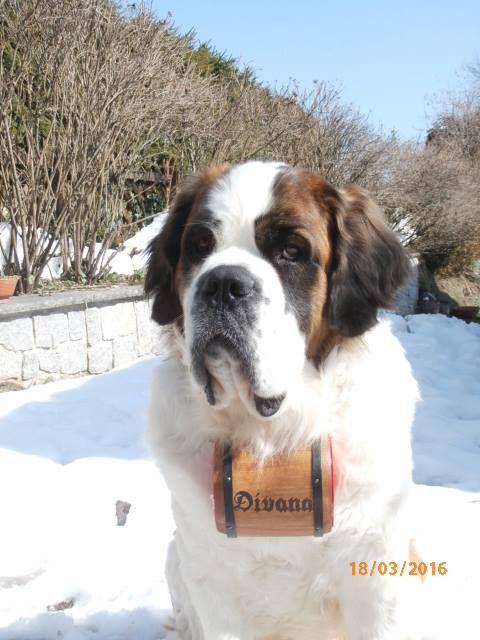 #Bernhardiner #Fass #Bernhardinerfass #Schweiz #Hund #Divana  www.samtschnutenwunderwelt.de