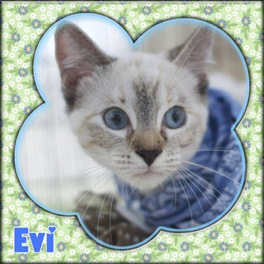 Evi Is A Female White Gray Siamese Mix Kitten 3 Months Old
