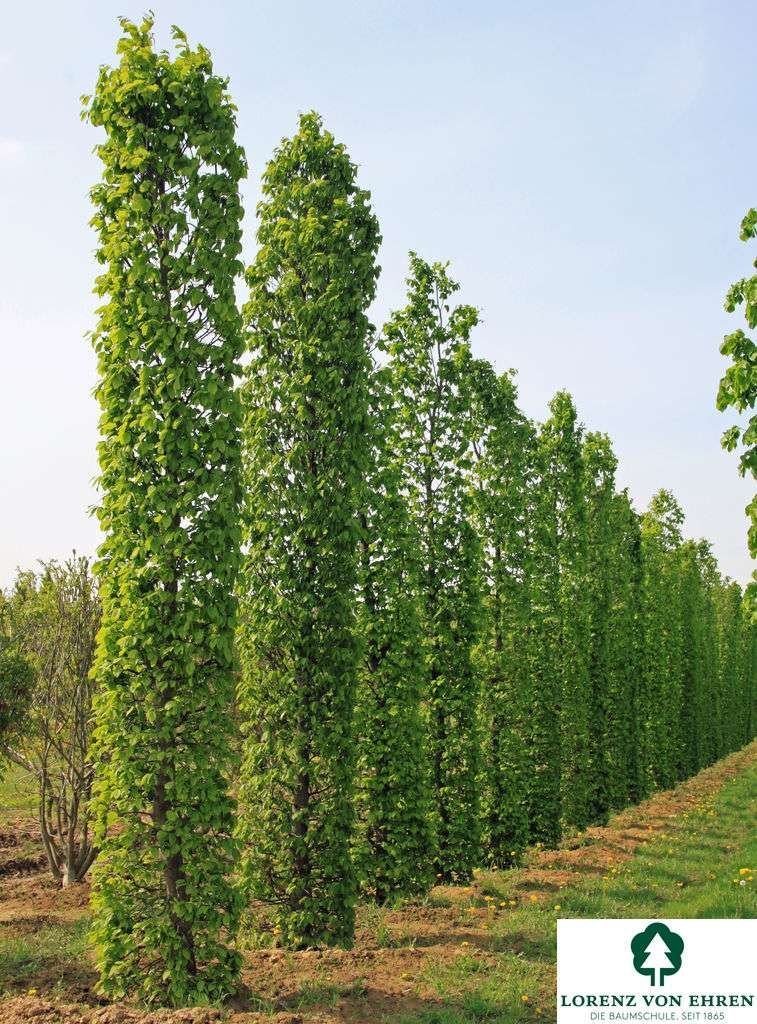 Wuchs Mittelgrosser Baum 5 15 20 M Hoch Je Nach Mehrstammigkeit 4 6 8 M Breit Etwas Unregelmassig Aufge Sichtschutz Baume Heckenpflanzen Sichtschutz Garten