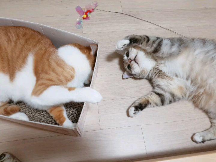 둘다 빙구미 오지네 . #짜부탱과뚠뚠스 #후덕 #두턱 #씹덕 #달덩이 #해피 #유끼 #남매스타그램 #졸귀탱 #솜방맹이 #뽕주디 #냥스타그램 #펫스타그램 #고양이 #개그냥 #집사그램 #일상 #cat #furry #fluffy #pawsome #funnycat #daily #cute #adorable #catstagram #petstagram #mypet #kitty #catlover