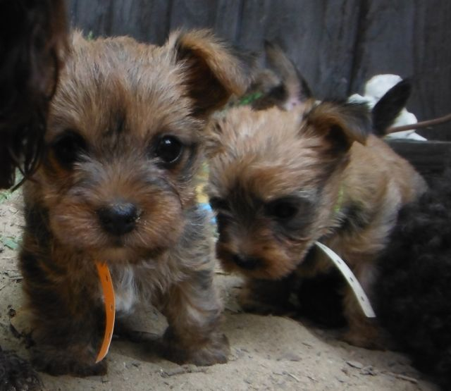 Carkie Puppies Cairn Terrier Yorkie Mix Puppies Carin