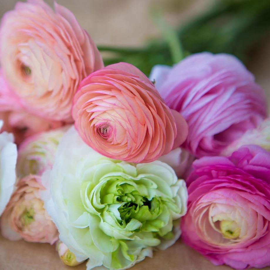 Ranunculus Tecolote Pastel Lace Collection Bulb Flowers Planting Bulbs Ranunculus