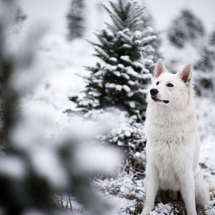 2 days  #holidaysarehere #merrychristmas #swissshepherd @ueliboy