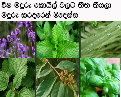 Image Result For Mosquito Repellent Plants In Sri Lanka Mosquito