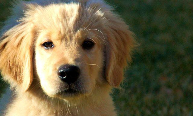 Golden Retriever Lifetime Study Morris Animal Foundation A Very