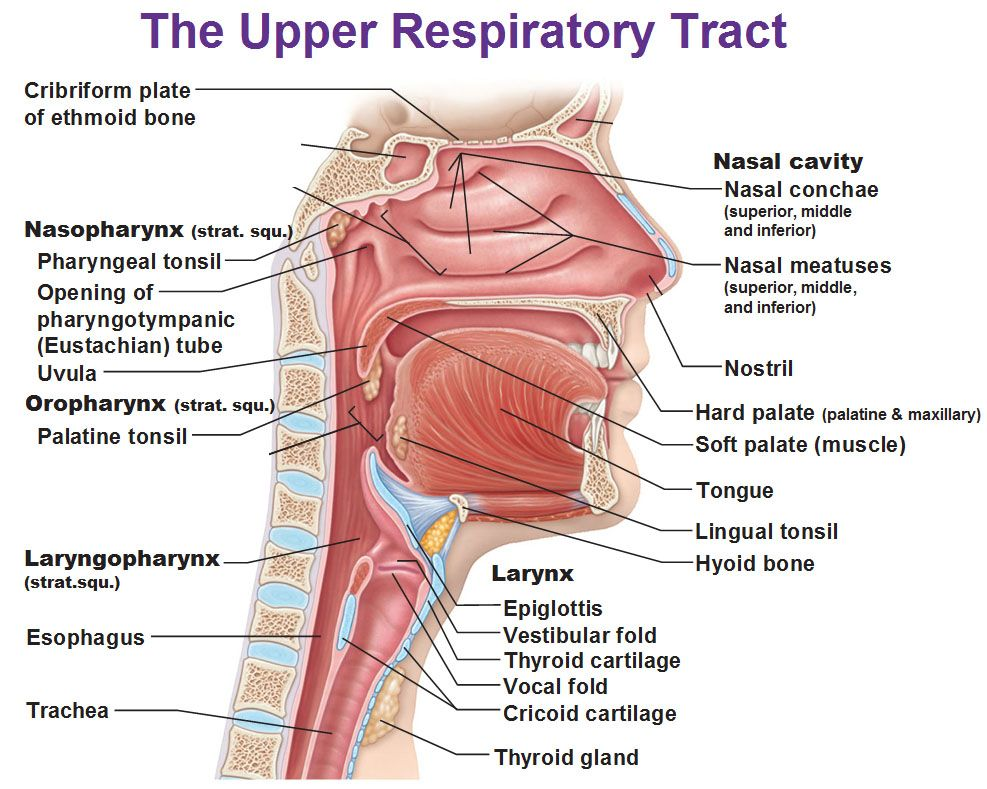 Upper Respiratory Tract Nasopharynx Osopharynx Laryngopharynx