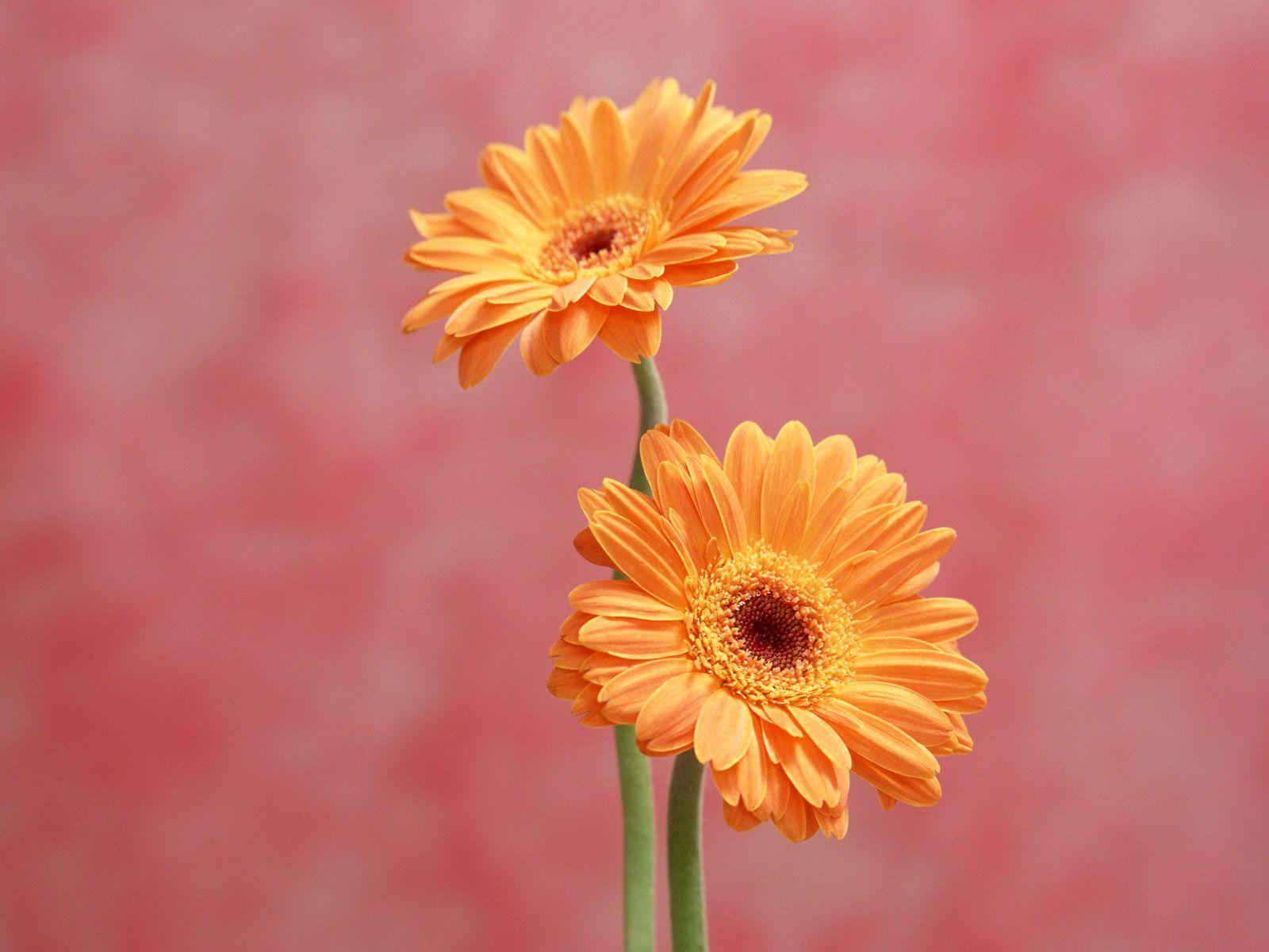 Gerbera Daisy Orange Flower Wallpaper gerbera daisy orange