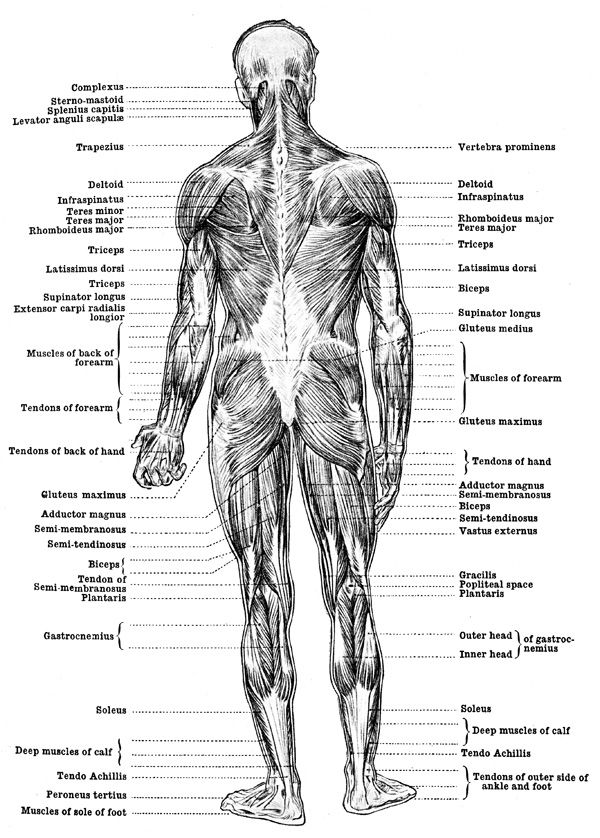 Human Anatomy Muscles Muscles Of The Body Back View Health And