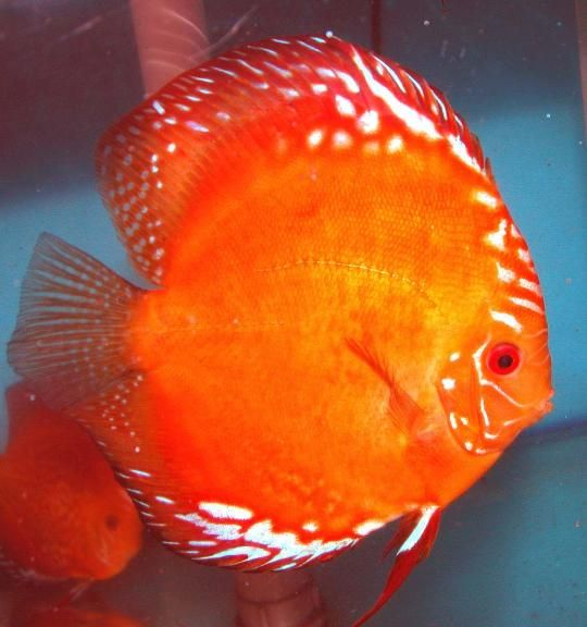 Red Marlboro Disponibili Discus