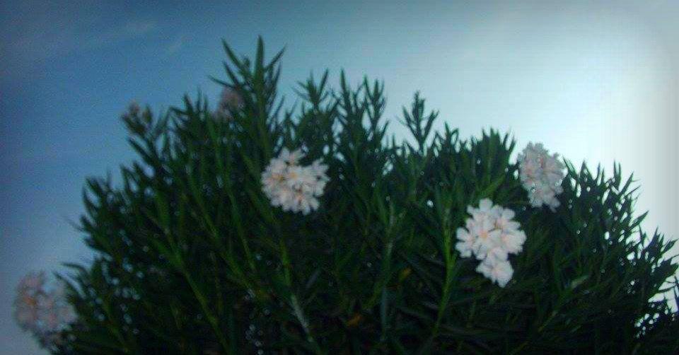 كان عجبني الورد الابيض المنظر كان جميل بس كان نفسي الصورة نفسها تطلع احسن من كدة Plants Flowers Dandelion