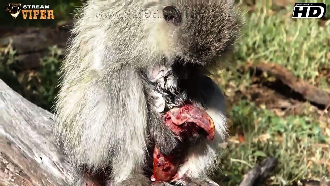 Monkeys Giving Birth Live! -  (Best Compilation!!!)