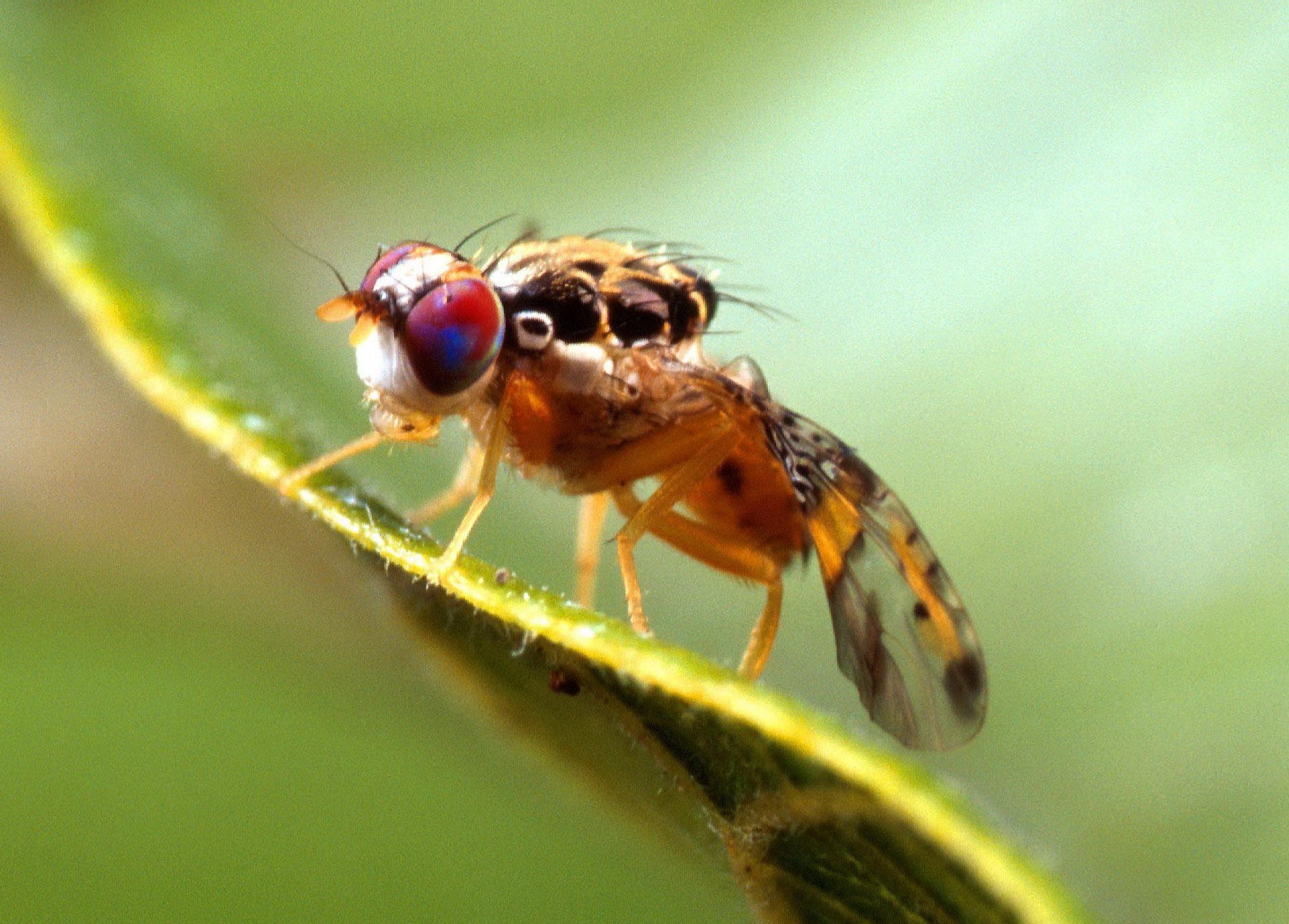 Las mujeres viven más que los hombres... ¡una mosca lo demuestra!Una ...