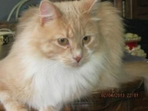 Adopt Finnegen On Long Haired Cats Animals Animal Control