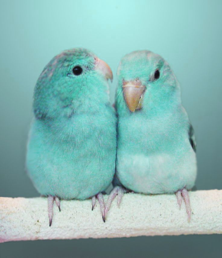 turquoise birds pinterest v gel t rkis und wellensittich. Black Bedroom Furniture Sets. Home Design Ideas