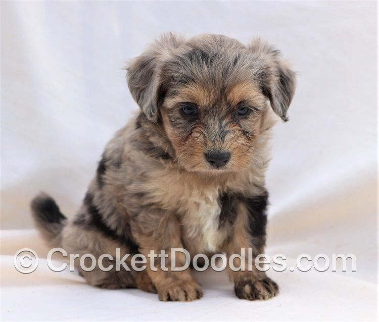 Aussiepoo Photo From Www Crockettdoodles Com Puppies Doodle Puppy Cute Dogs