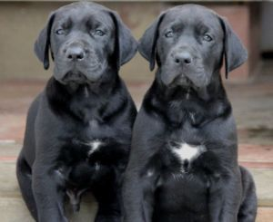 Black Great Dane Puppies Absolutely Stunning Dogs And Puppies