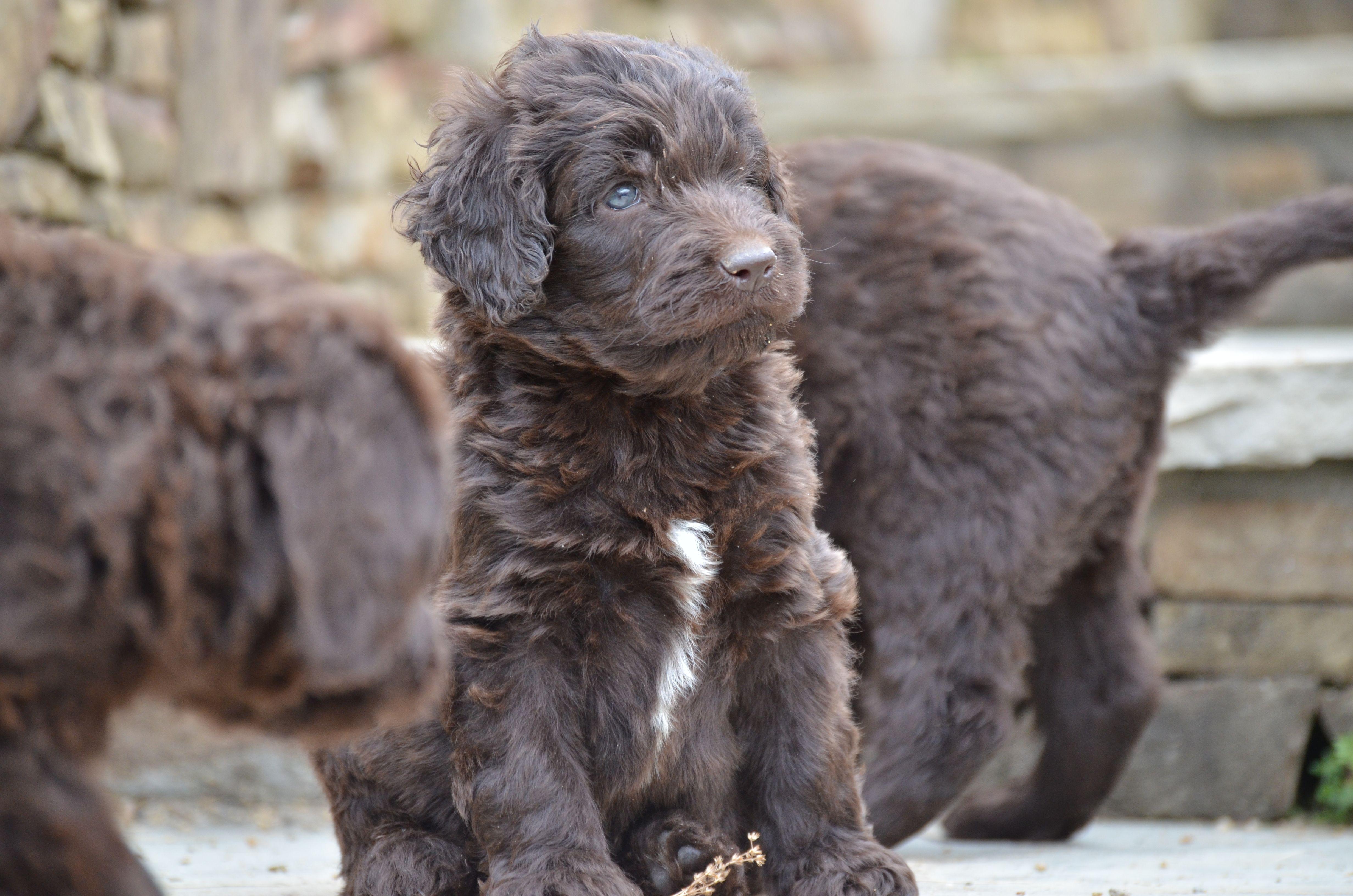 Gorgeous Newfypoo Puppies Up For Adoption Newfiedoodle Newfypoo