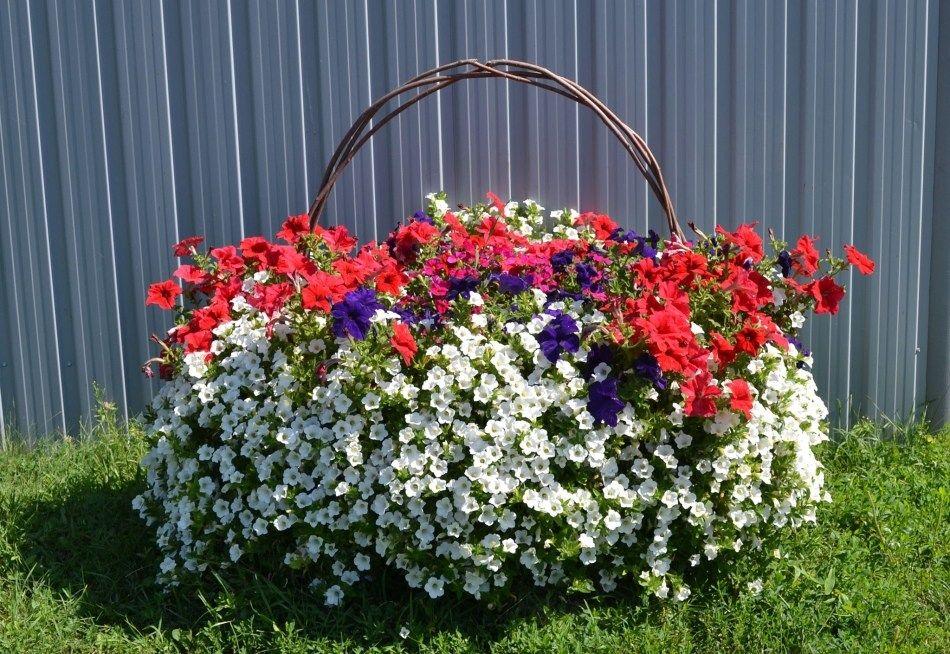 Najbardziej Skuteczne Dzialania I Wskazowki Dotyczace Pielegnacji Petunii W Doniczkach Doniczkach I Doniczkach Pe Planting Flowers Petunia Plant Garden Vases