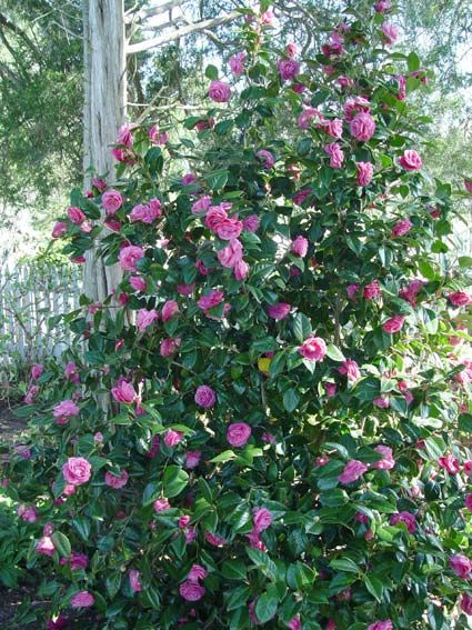 Camellias For Colder Climates Camellia Plant Plants Plant Hardiness Zone