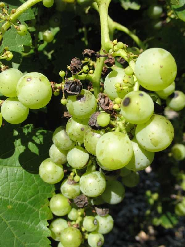 Black spot, the bane of our grapes: 5  Fungicides  Use protective