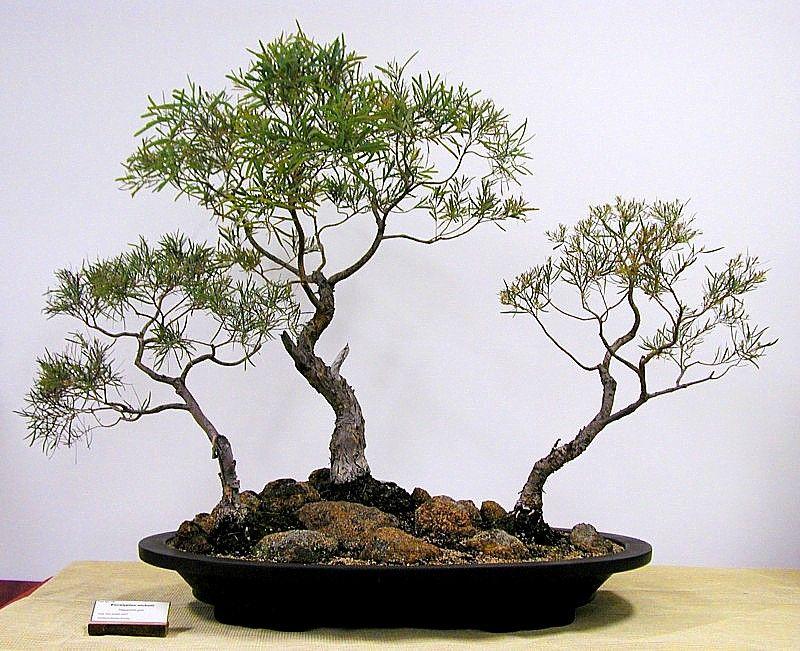 Google Image Result for http://www.anbg.gov.au/bonsai/bonsai-anbg-2008/18_Eucalyptus_nicholli_large.jpg