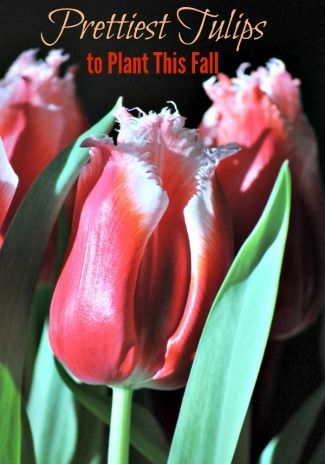The Prettiest Tulips to Plant this Fall