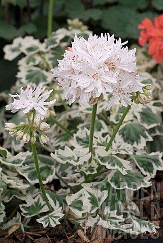 PELARGONIUM_SILVER_GLITTER | Plant ID: Annuals 2 | Pinterest ...