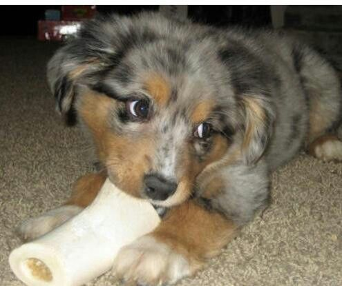 Pin By Bennett Stevens On Critters 3 Australian Shepherd Mix Puppies Australian Shepherd Cute Dogs