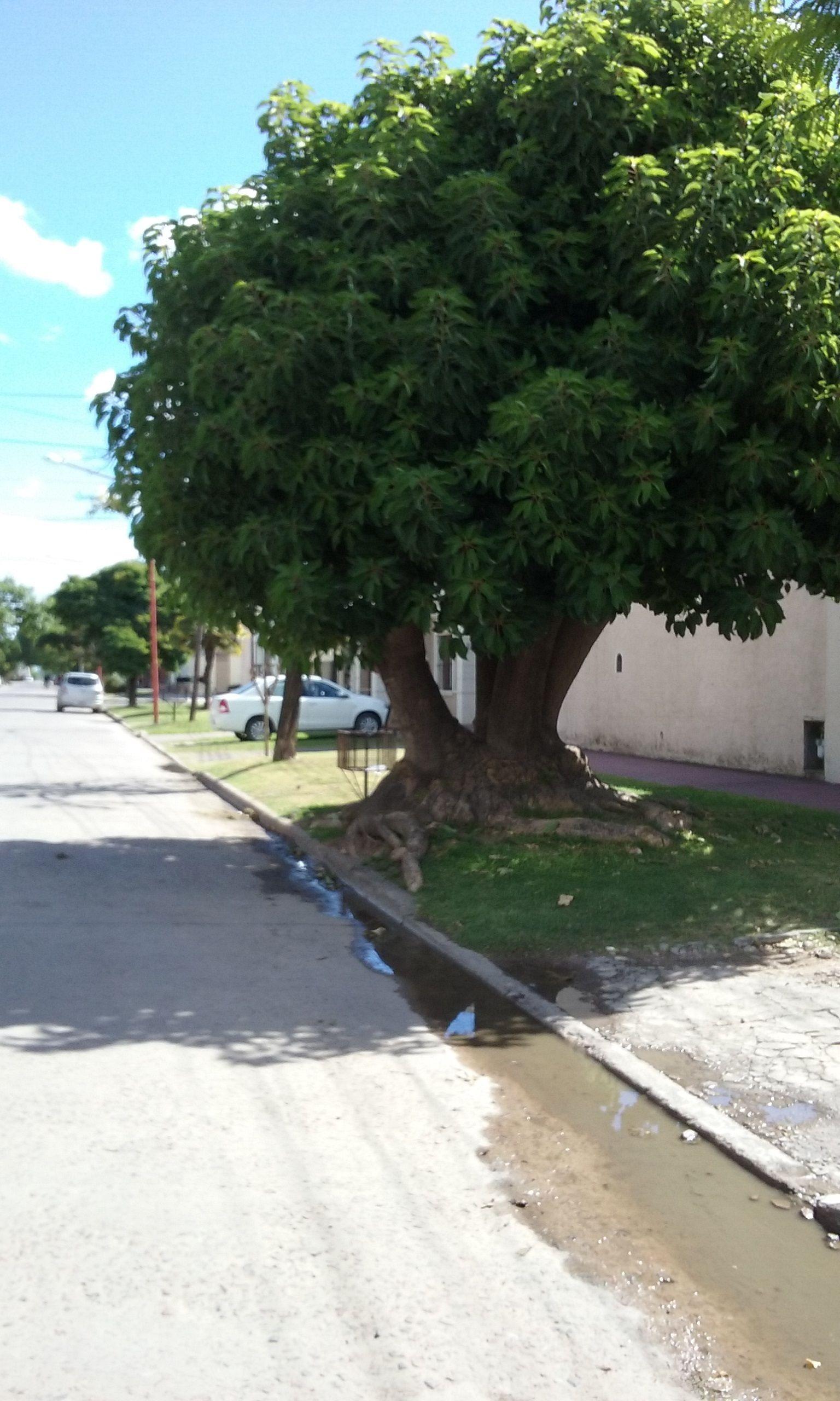 Evbjuan arbol originario de argentina phytolacca dioica for Arbol comun