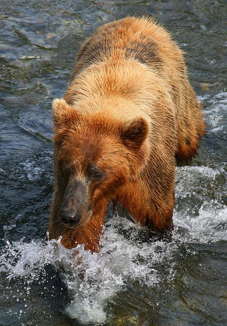 """Brown bear walking through the water"" - oh is that what that is?"